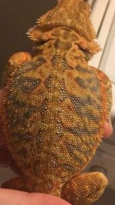 Juvenile Leatherback Bearded Dragon/German Giant & 4 Foot Tank