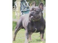 Stunning blue & tan black tan Kc reg French bulldog puppies