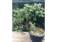 Quality Yamadori Quercus Pubescens Prebonsai