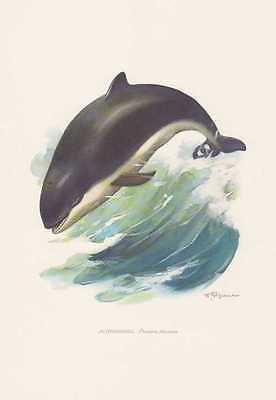Schweinswal lupus Phocoena phocoena Farbdruck von 1959 Wale Cetacea Zoologie
