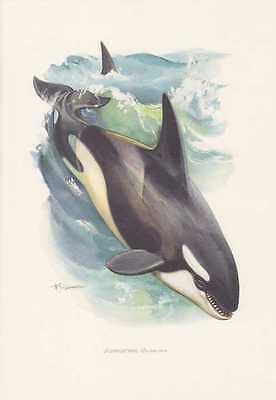Schwertwal Orca Orcinus orca Farbdruck von 1959 Wale Cetacea Zoologie