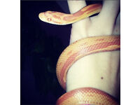 Carolina Corn Snake with Setup