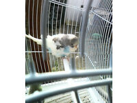 BABBY BUDGIES FOR SALE