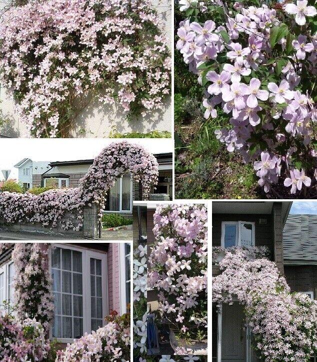 Stecklinge Clematis rosa winterhart blühend Pflanzen Blumen für den Garten Deko