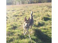 Female Dog for sale. Alsation X Husky. 1 year old