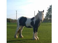 Black and white colt cob, 2 year old