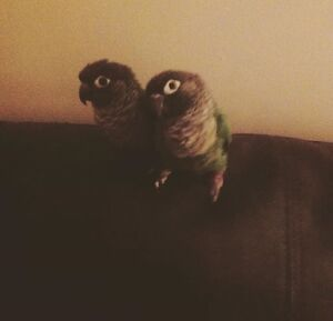 2 Green Cheek Conures With Cage and Food