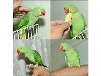 Chunky Alexandren 12wks Green Talking Parrots