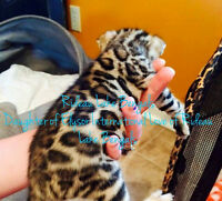 TOP QUALITY BENGAL KITTENS TICA REGISTERED