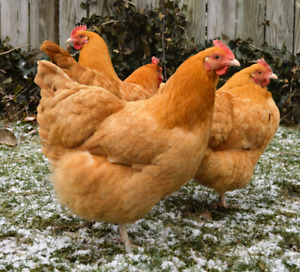 Looking for pullets and a heritage breeding group