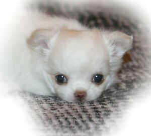 Gorgeous Teenie Purebred Registerd L/C Female Chihuahua