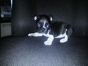 C-o-r-k-y- Cute Boston Terrrier Puppy-1 male left