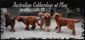 Australian Cobberdog NOT Labradoodle puppies