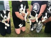 ISDS Registered Border Collie Pups