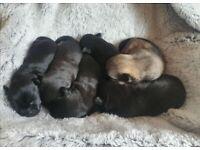 Chihuahua x Chug puppies