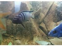 African cichlids for sale camberwell