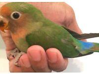 HandTamed Baby Lovebirds