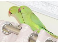 Baby Green Ringneck Talking parrots 4 month old babies