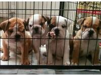 Show quality Bulldog puppies