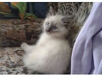 3 adorable blue eyed ragdoll x kittens for sale