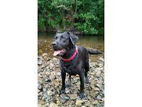 Black Labrador for sale