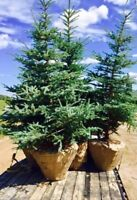 Interested in Colorado Spruce Trees for your yard this Spring?