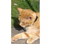 Ginger tabby with light blue collar and tag age 5 neutered and chipped