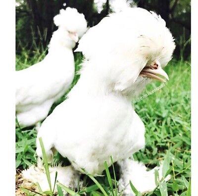 Six 6 Critically Endangered Sultan Chicken Hatching Eggs