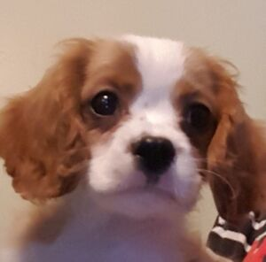 Wow! Health Guarantee, Pet Ins. Cavalier King Charles Puppy