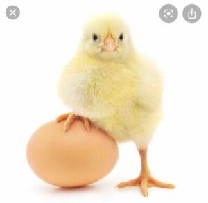 chickens in Geelong Region, VIC | Pets | Gumtree Australia