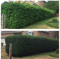 Professional Hedge Trimming