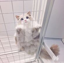 Want to buy blue/lilac bicolour ragdoll Chatswood Willoughby Area Preview