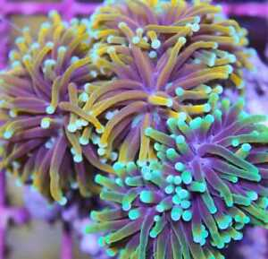 250 NEW SALTWATER CORAL COLONIES ZOAS SPS ACRO CHALICE AND MORE