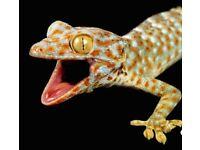 Tokay gecko for sale Lizard,gecko,reptile,pet,
