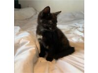 Kitten for sale (Ready to go NOW!)