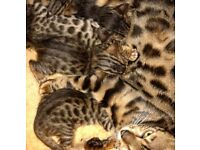 Bengal kittens pedigree
