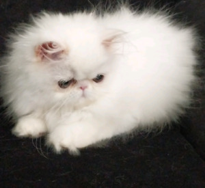NEW LOWER PRICE  PURE BRED REGISTERED PERSIAN KITTENS