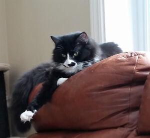 MACARON, chaton mâle tuxedo à poil long