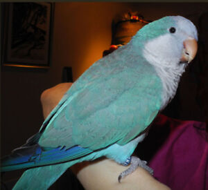 light blue quaker baby very friendly tame for sale at T T PETS