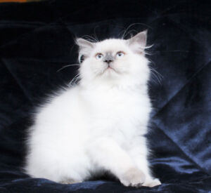 Dollfaced Persian Male Kittens with Blue Eyes