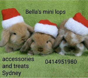 Quality purebred mini lop🎅🏼litter trained vaccinated Christmas bunny