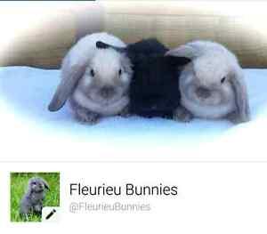 Fleurieu Bunnies - Purebred Mini Lops Victor Harbor Victor Harbor Area Preview