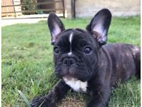 Beautiful kc reg frenchbulldog puppy from silver health tested parents FBCE