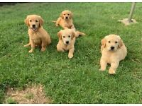 Gorgeous KC Golden Retriever Puppies READY TO LEAVE THIS SATURDAY