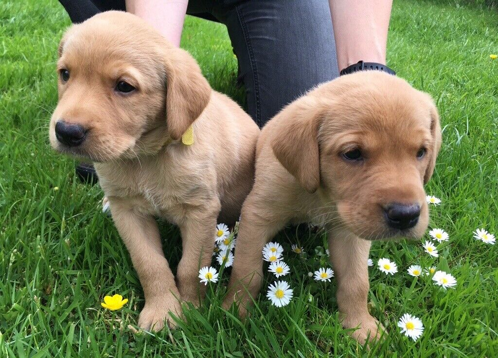Buy Yellow Lab Retriever Puppies For Sale In British Columbia Canada
