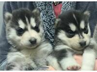 2 Beautiful Siberian Husky Puppies left for Sale