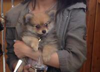9 week old Pomeranian