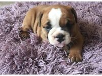 Beautiful triple carriers British bulldog puppies carry chocolate, lilac and blue gene