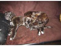 2 Presa canario/Cane corso Puppies left - Updated