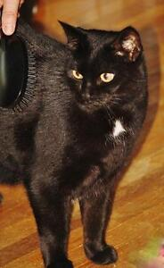 "Senior Female Cat - Domestic Short Hair-Tuxedo: ""Tiffany"" London Ontario image 1"